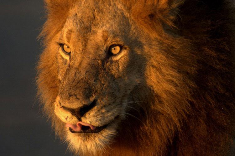 León en el Parque Nacional Kruger, en Sudáfrica
