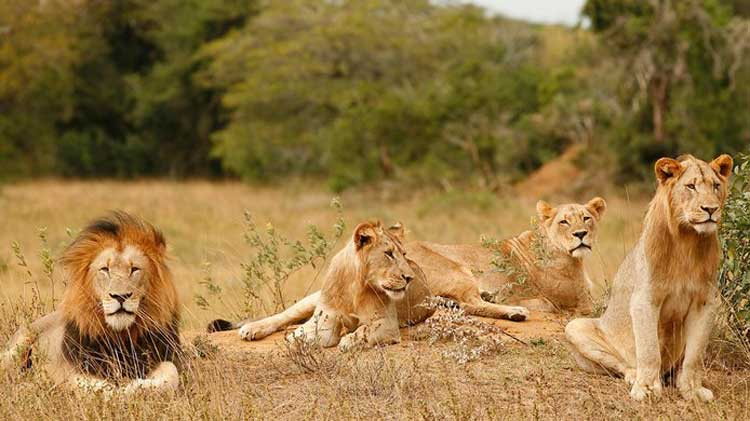 Leones en Phinda Homestead, Parque Nacional Kruger, Sudáfrica
