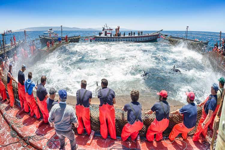 Atún rojo de Cádiz. © Julio González /Patronato Provincial de Turismo de Cádiz