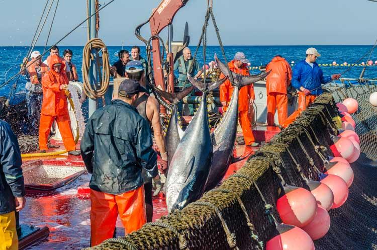 Atún rojo de Cádiz. Almadraba