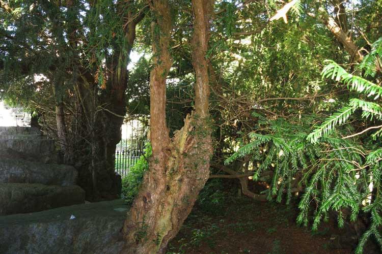 El tejo de Fortingall. La Naturaleza de Escocia | Revista Tu Gran Viaje editada por TGV Lab